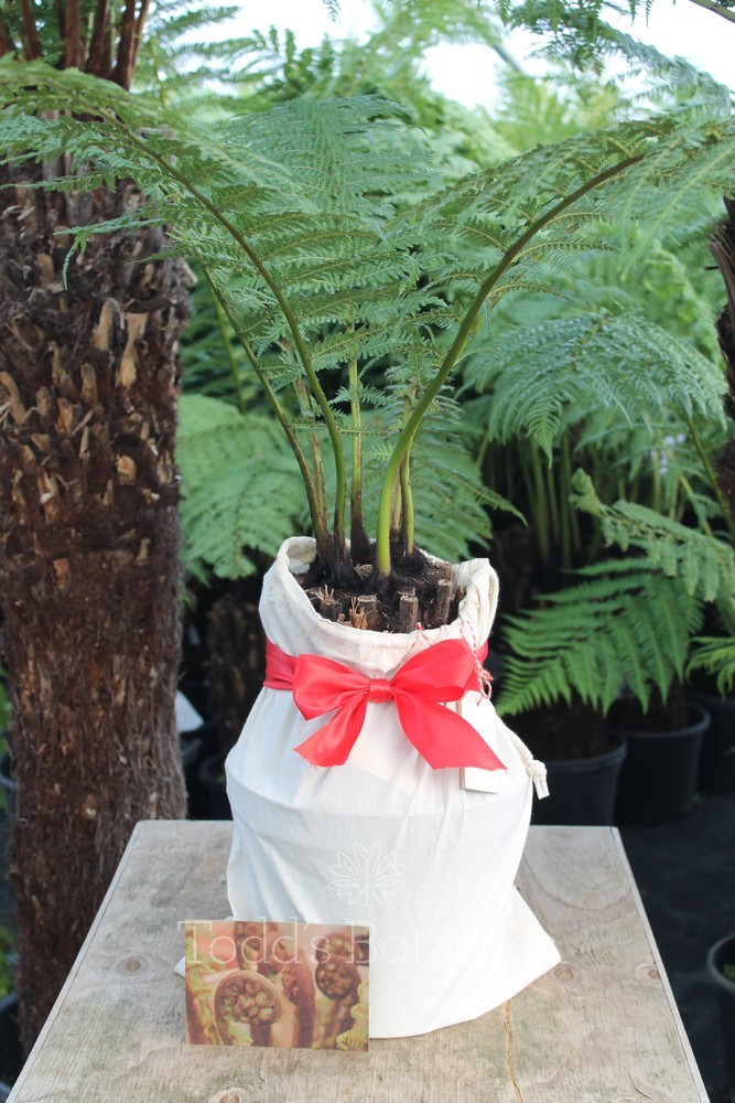 1ft Tree Fern Gift