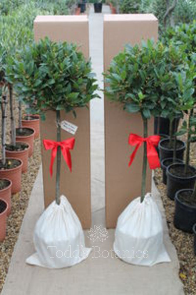 2 x 1/2 Standard  Gift Wrapped Bay Trees