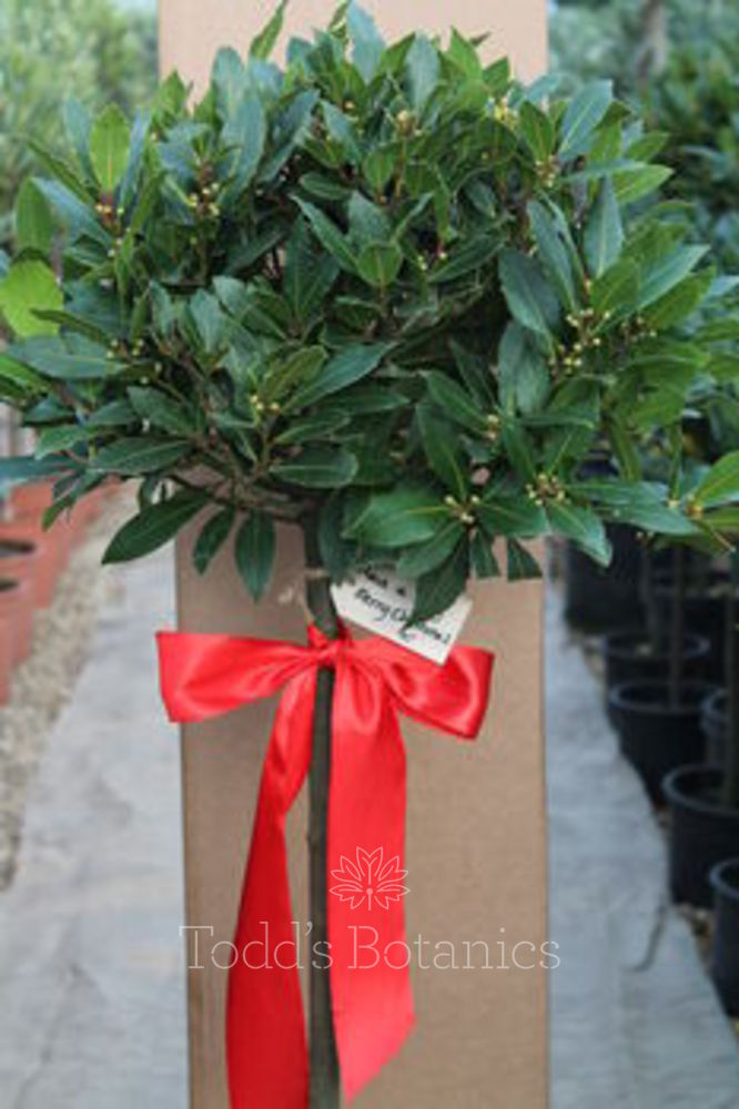 Gift Wrapped 1/2 Standard Bay Tree