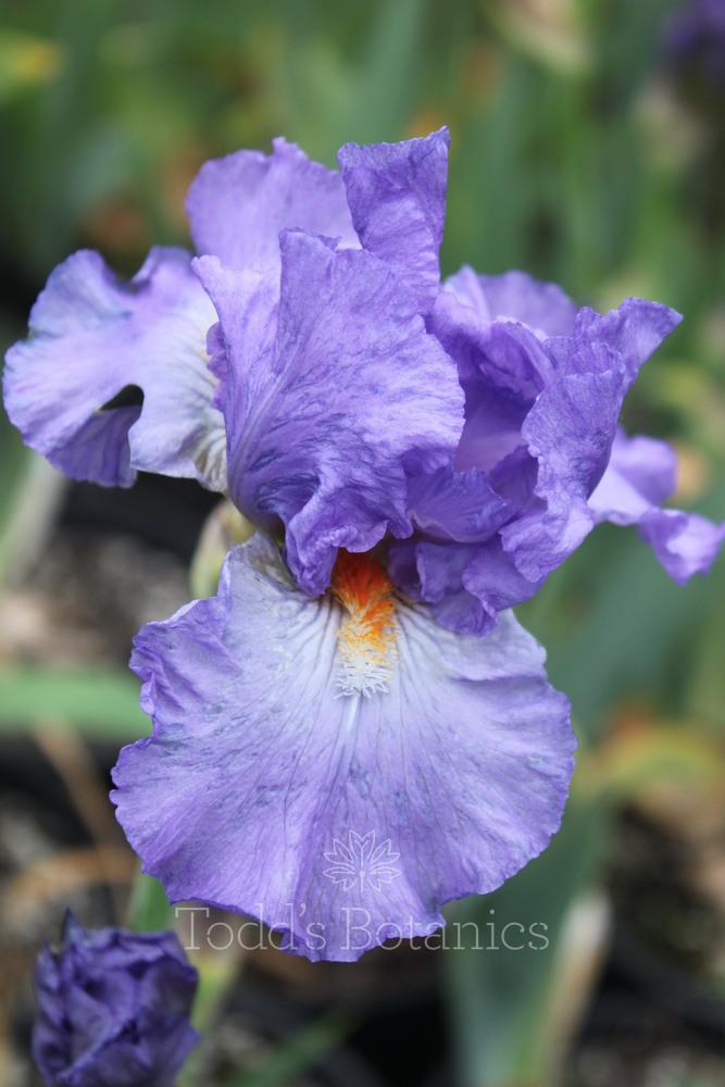 Iris 'Actress'