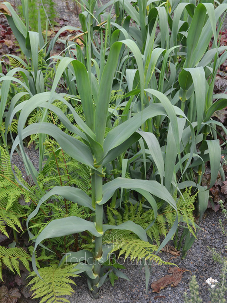 Arundo donax 'Macrophylla'