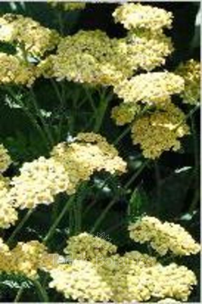 Achillea 'Lucky Break'