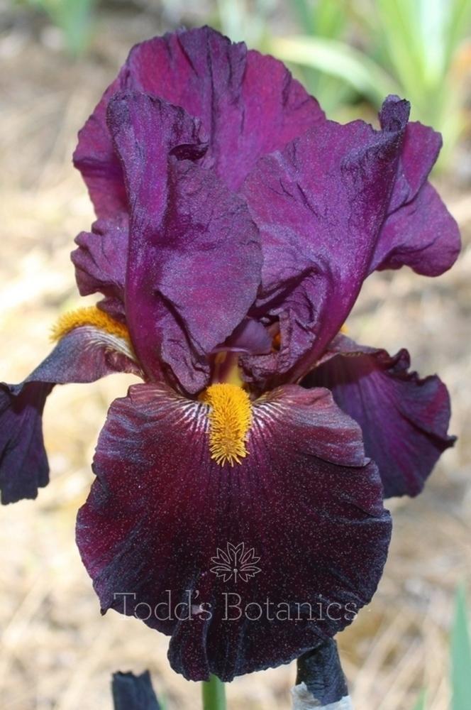 Iris 'Coalignition'