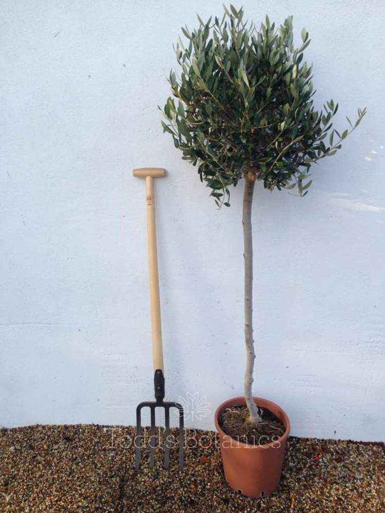 Large Olive Tree 5 ft 3/4 Standard