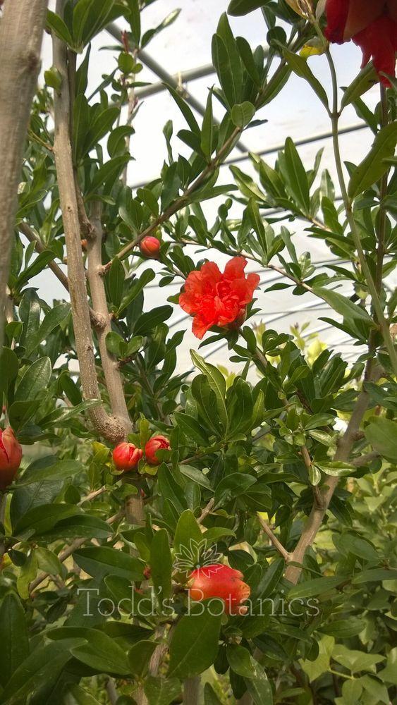 Pomegranate Tree B