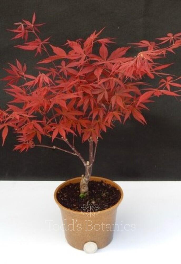 Acer palmatum 'Nomura'