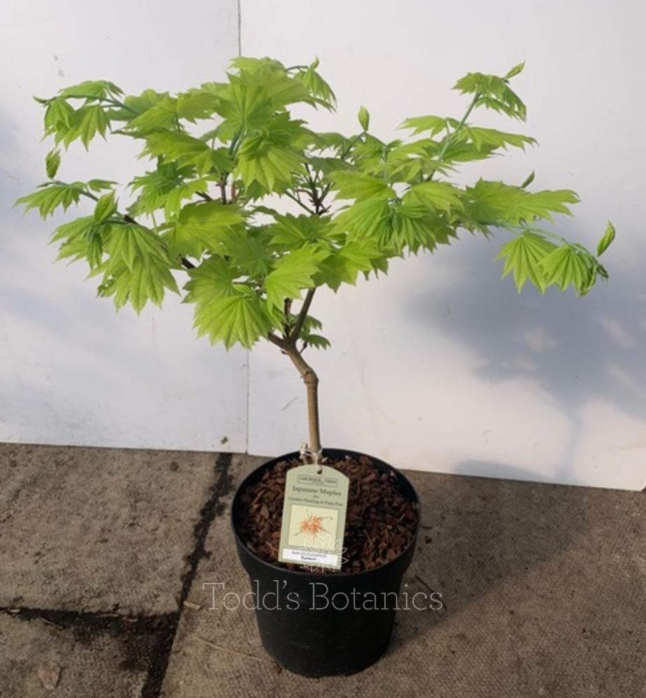 Acer shirasawanum 'Aureum' AGM