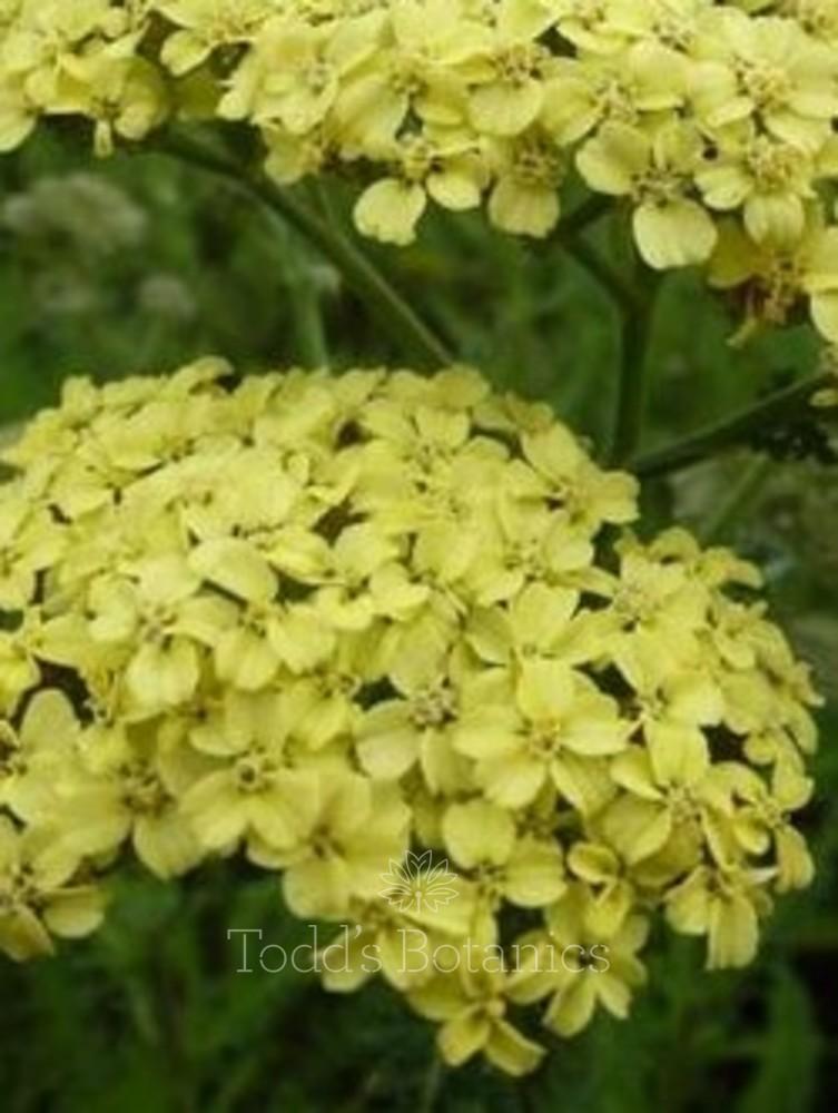 Achillea millefolium 'Hella Glashoff' AGM