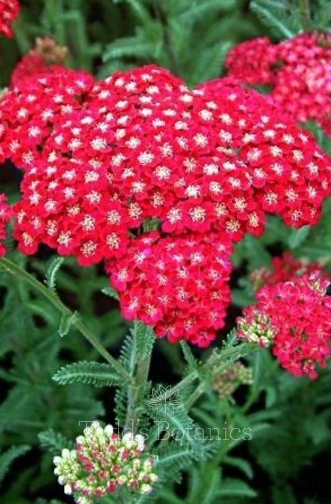 Achillea millefolium 'Red Velvet' AGM