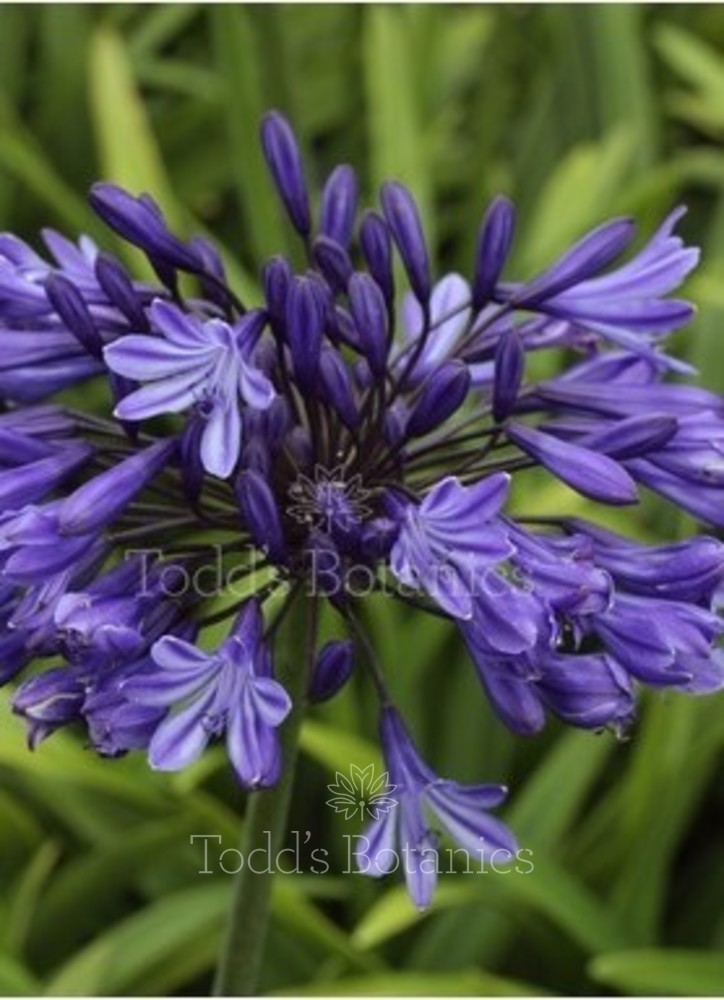 Agapanthus 'Navy Blue' AGM