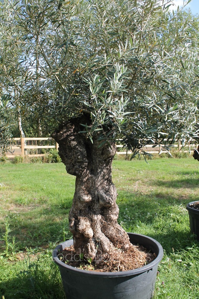 Ancient Olive Tree 1806750F