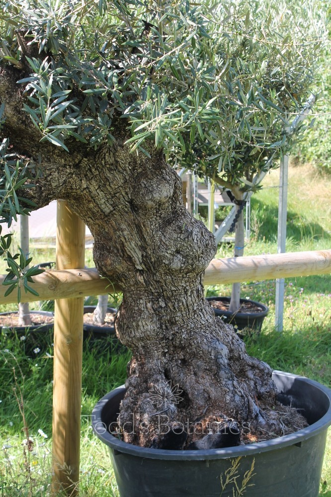Ancient Olive Tree 1806750H