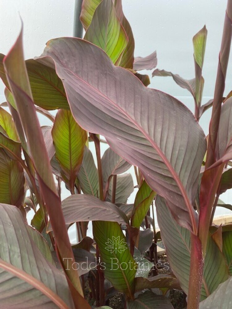 Canna 'Russian Red' AGM