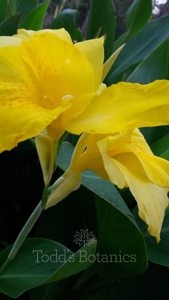 Canna 'Yellow'