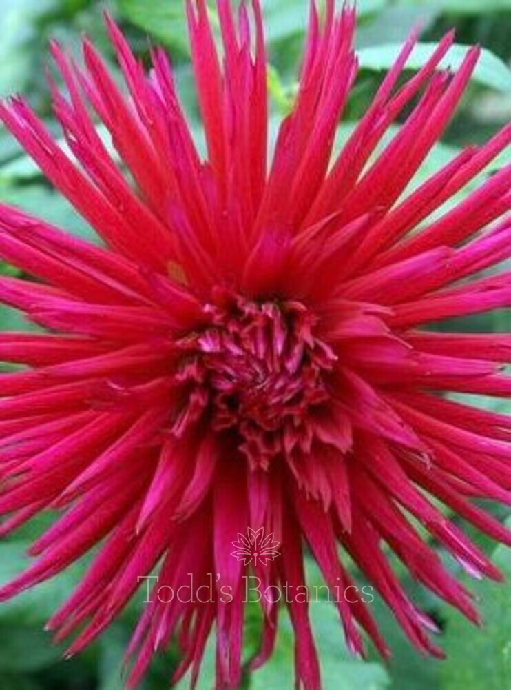 Dahlia 'Urchin'