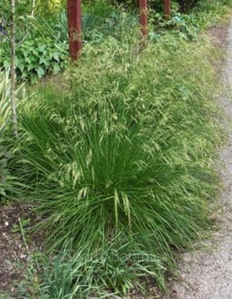 Deschampsia ces. 'Goldtau' AGM