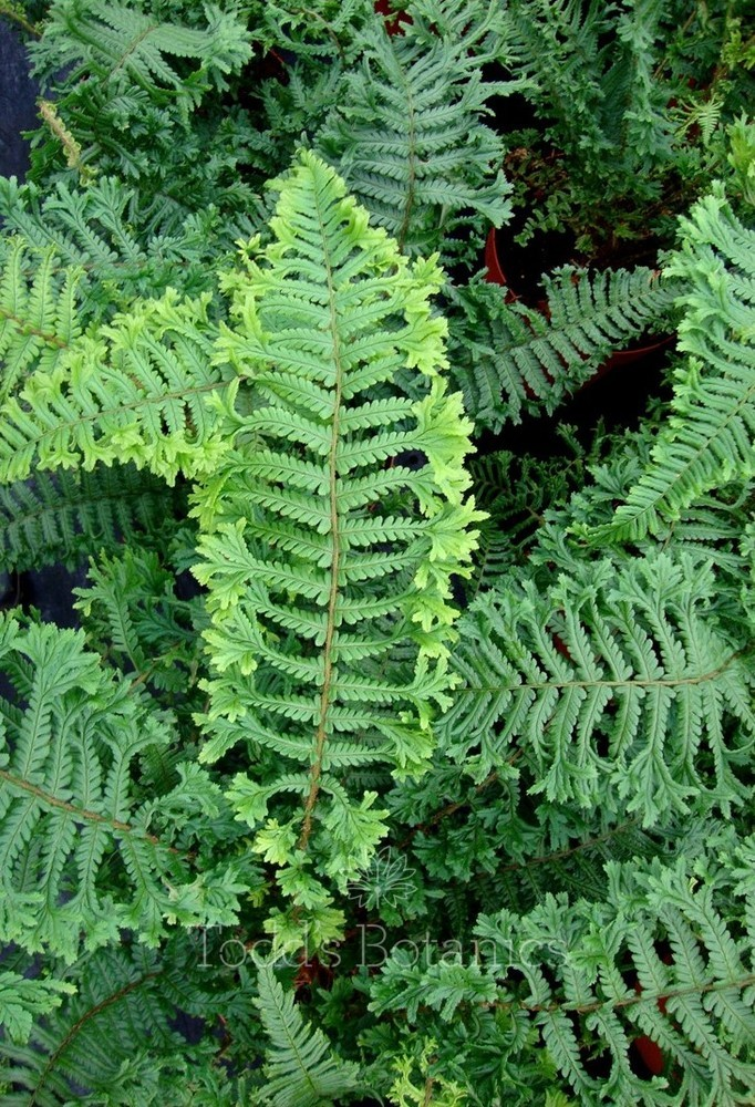 a. Dryopteris affinis 'Cristata' AGM