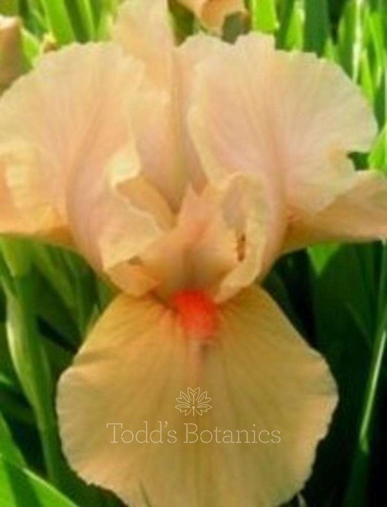 Iris 'Apricot Silk'