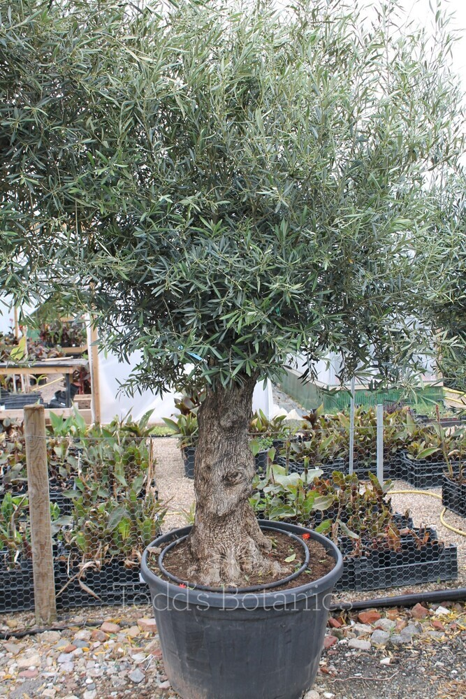 Ancient Olive Tree 1905750B