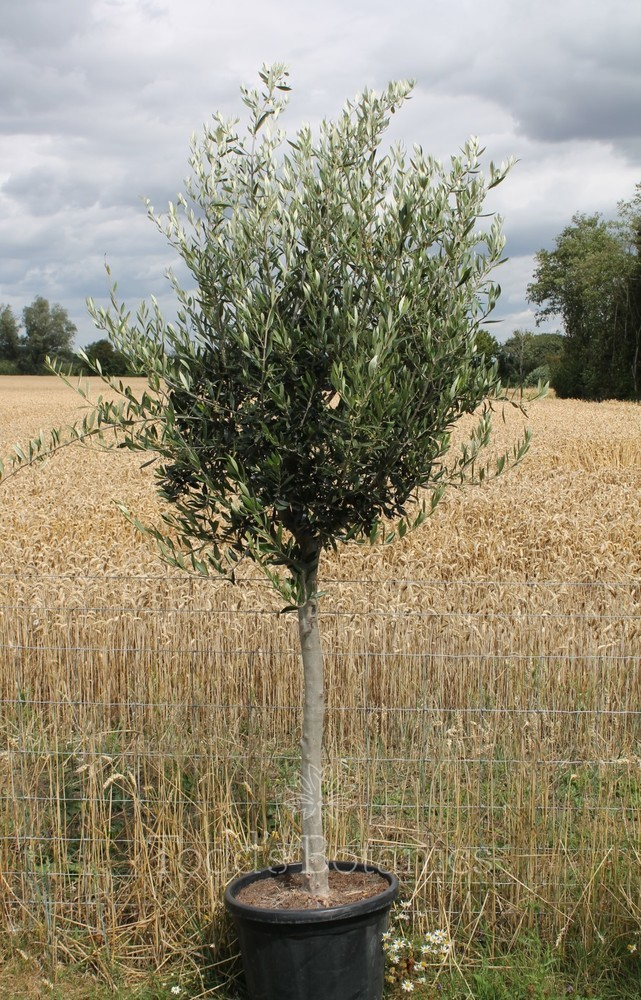 Olive Tree Full Standard Semi-Mature
