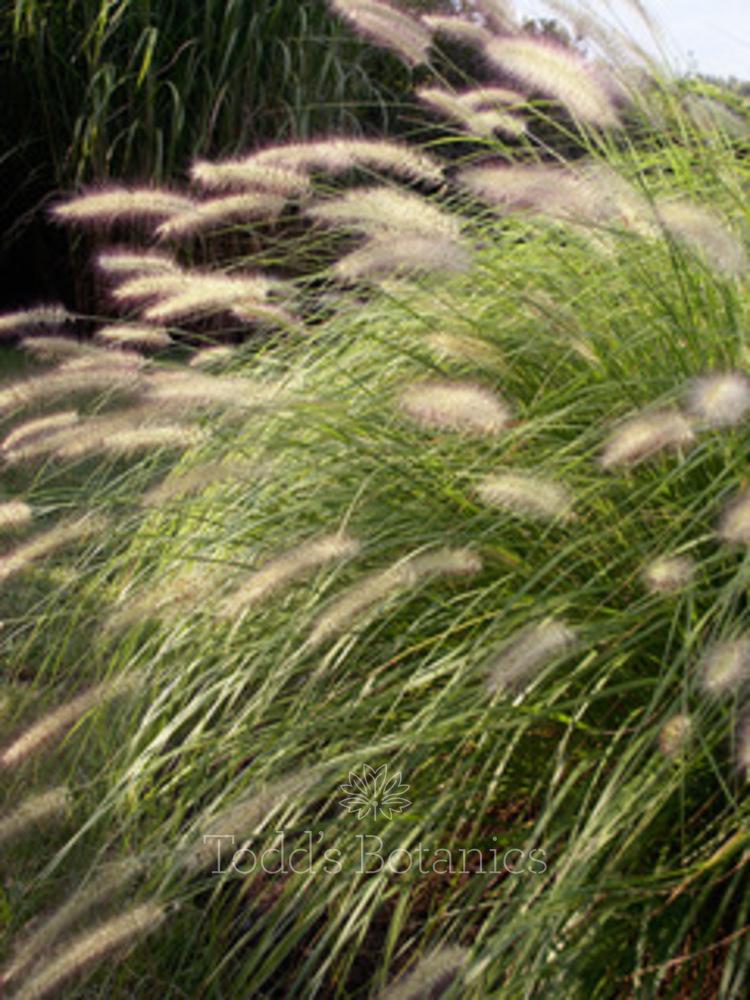 Pennisetum alpecuroides 'Hamelm'