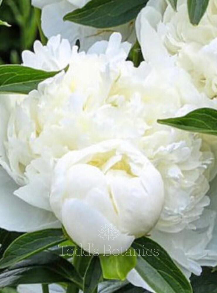 Paeonia lactiflora 'Duchesse de Nemoirs'