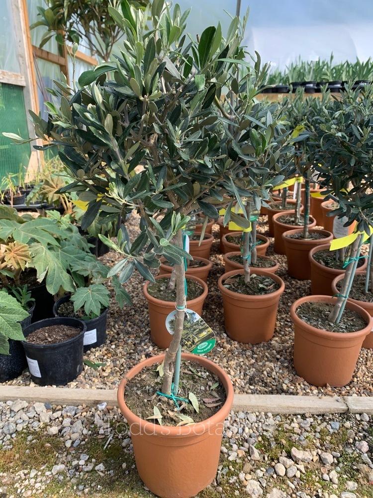 1/4 Standard Olive Tree