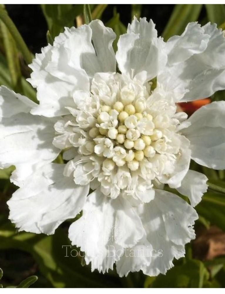 Scabious caucasica 'Perfecta White'