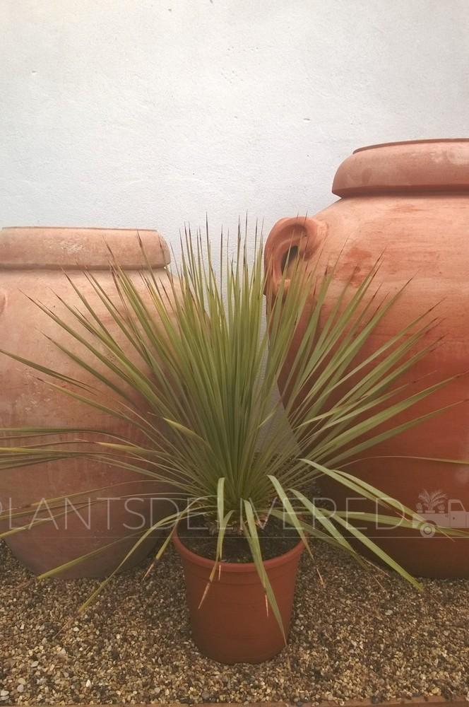 Yucca - 'Rostrata'.