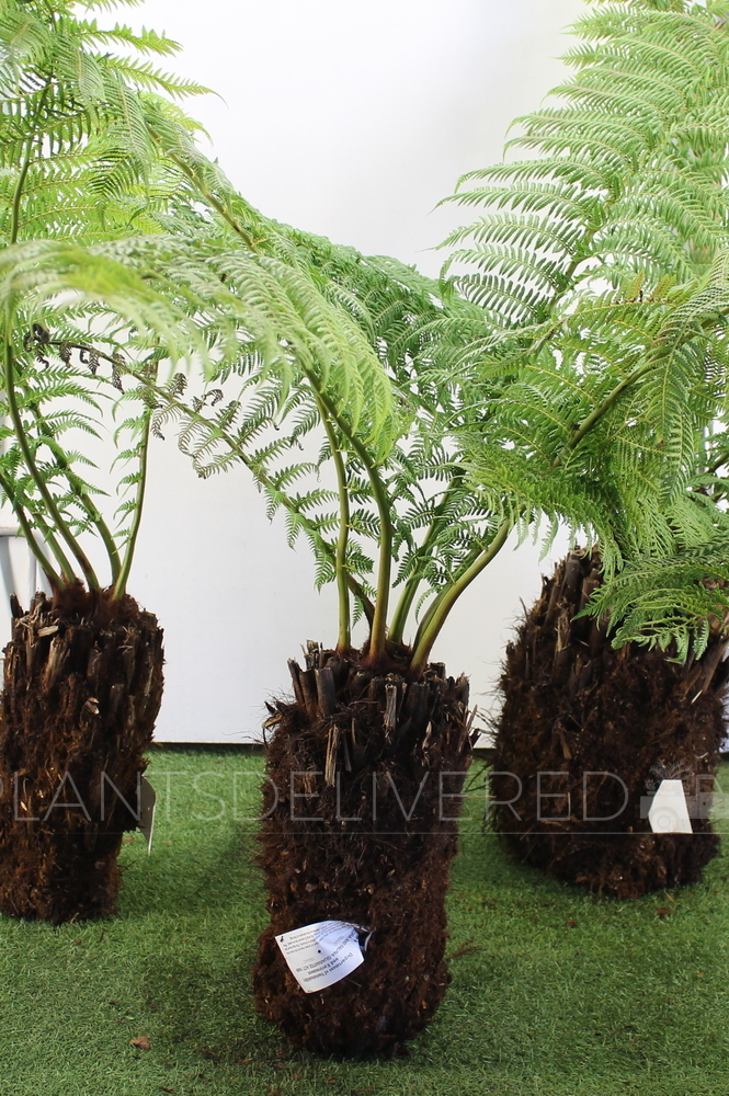 1 foot Tree Fern - Dicksonia antarctica