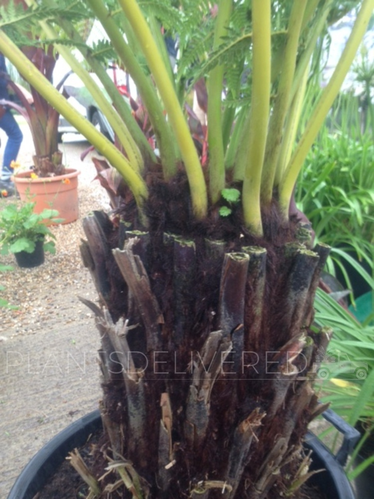 Nearly 2 foot Tree Ferns! - Dicksonia antarctica