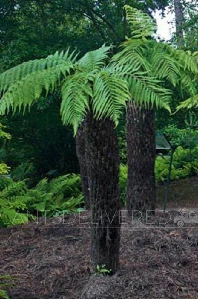 5 foot Tree Fern Dicksonia antartica