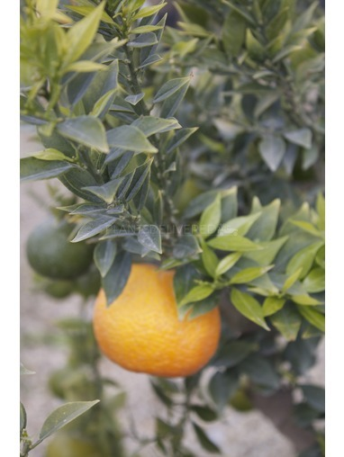 Citrus myrtifolia 'Chinotto'