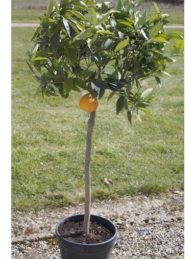 Large Orange Tree