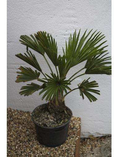 Trachycarpus Wagnerianus.