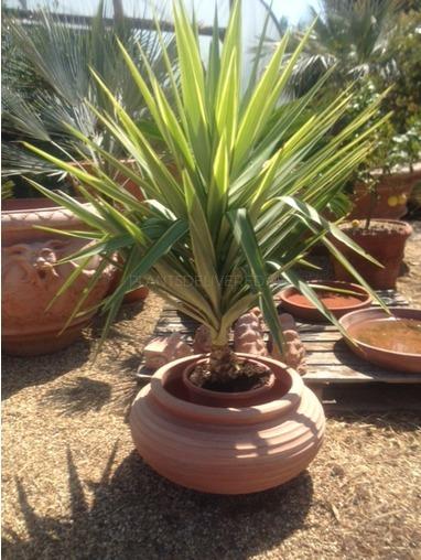 Yucca 'Jewel'.