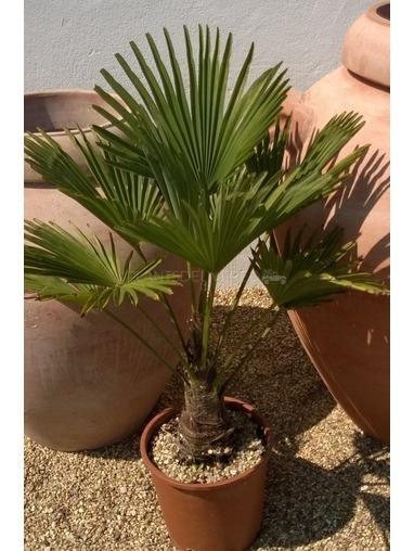 Trachycarpus Fortunei.