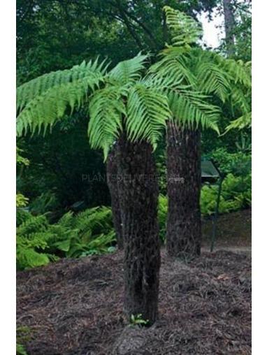 5 foot Tree Fern - Dicksonia antarctica