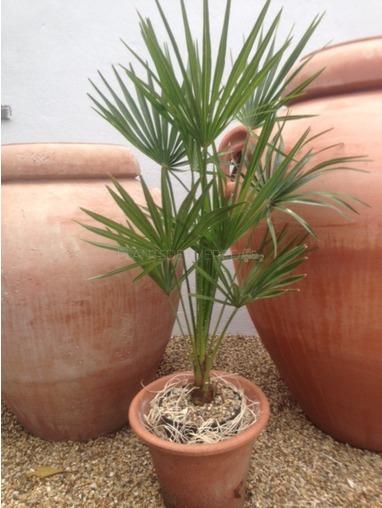 Chamaerops Humilis 'Vulcano'.