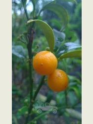Citrus Kumquat.