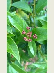 Viburnum Tinus  -  'Eve Price'.