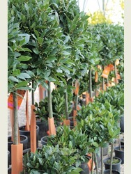 1/4 Standard Bay Tree Laurus nobilis AGM