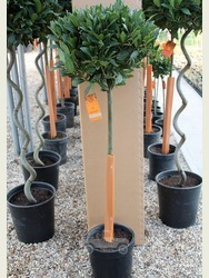 3/4 Standard Bay Tree Laurus nobilis AGM