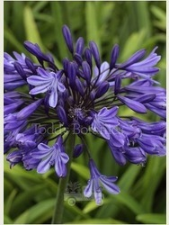 Agapanthus 'Navy Blue' AGM