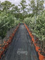 Olive Tree 5 ft 3/4 Standard