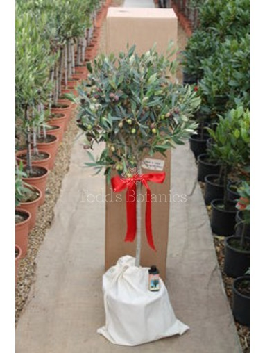 Gift Wrapped 1/2 Standard Olive Tree