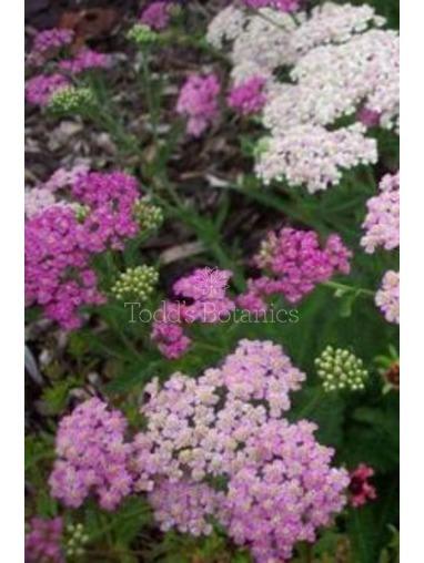 Achillea milefolium 'Pretty Belinda'