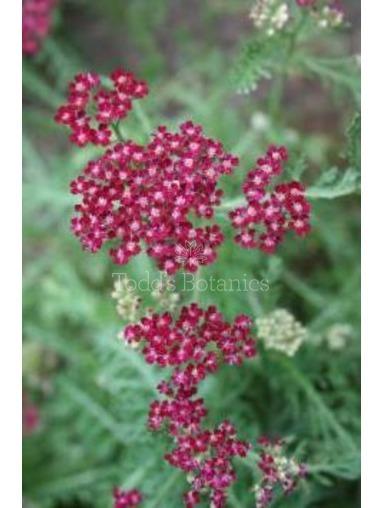 Achillea millefolium 'Summer wine'