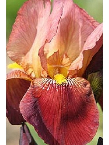 Iris 'Action Front'