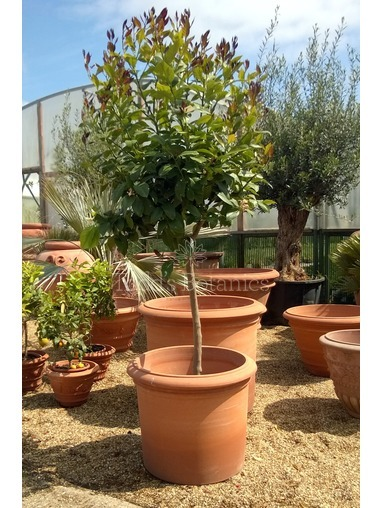Large Lemon Tree (Citrus limon)